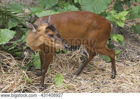 Small Mammal South Red Muntjac.  Muntiacus Muntjak