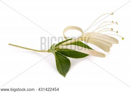 Honeysuckle Twig  With White Flowers And Green Leaves Isolated On White Background