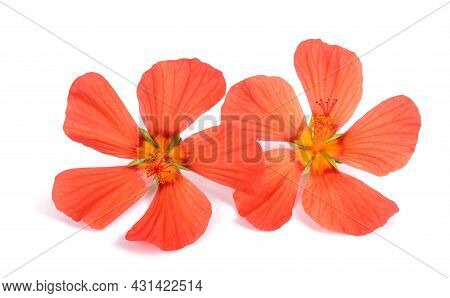 Red Mallow (pavonia Missionum) Isolated On White Background
