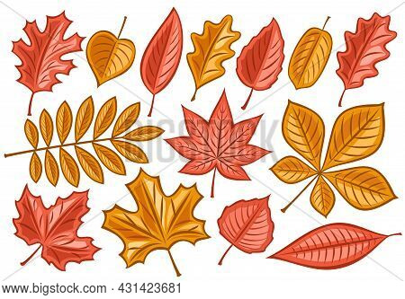Vector Set Of Autumn Leaves, Lot Collection Of Cut Out Illustrations Fall Season Dried Leaf For Herb