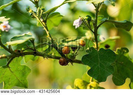 Small Cherry, Devil's Fig, Turkey Berry, Aubergine Or Pea Eggplant Or Red Nightshade Wild Multicolor