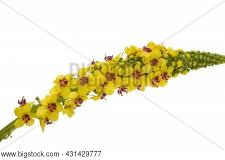 Yellow Meadow Mallow Isolated On White Background