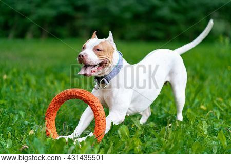 Horizontal Of Joyful And Cheerful American Pitbull Terrier Dog Playing With Orange Hoop In Mouth In