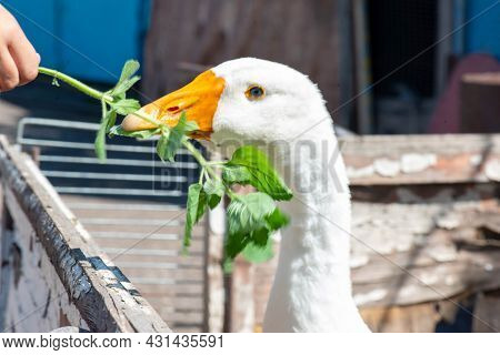 Serious White Goose Eating Weed From His Hands