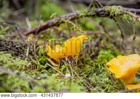 Profile View Of Yellow Young With Beautiful Texture Mushroom Chanterelle In Wet Moss Under Twigs In