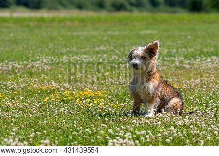 Nice Mixed Breed Puppy Playing On The Lawn On A Sunny Summer Day