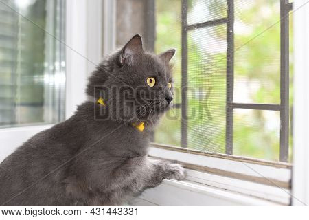 Portait Of Fluffy Gray Cat In Yellow Collar, With Yellow Eyes And Pointed Ears, Sitting Near The Win