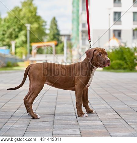 Brown Young American Pitbull Terrier On Leash Standing Still On Asphalt And Looking Away From Camera