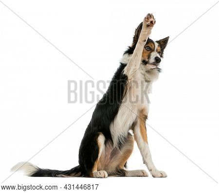 Border collie pawing up, obedient, isolated on white