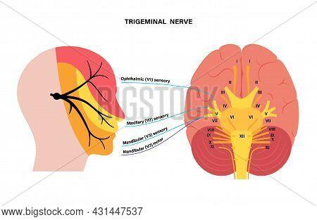 Trigeminal Nerve Diagram. Ganglion, Ophthalmic, Mandibular And Maxillary Nerves. Sensations To Face,