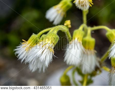 Seeds Plant In The Form Of Tassels