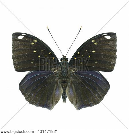 Hind Wing Of Blue-spot Archduke (lexias Albopunctata) Beautiful Dark Blue Butterfly Decorated With S