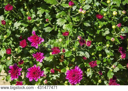 Pink Flowers Of The Aster. Aster Dumosus