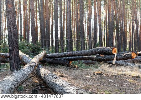 Felling Big Coniferous Pine Tree Logs At Forest Landscape. Industrial Commercial Deforestation. Natu
