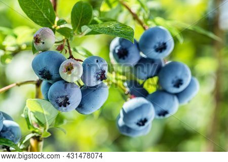 Ripe blueberries (bilberry) on a blueberry bush on a nature background.