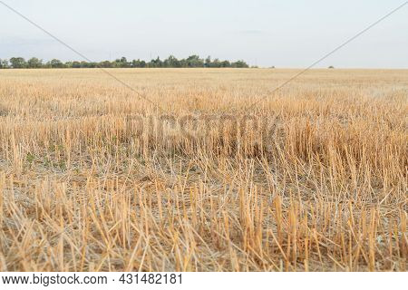 Wheat Field At Sunset. Yellow Spikelets Of Wheat On The Field. Wheat Or Barley Spikelets In A Field.