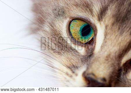 Cats Gaze. A Small Gray Kitten Looks Into The Frame Of The Camera With Green Eyes On A White Backgro