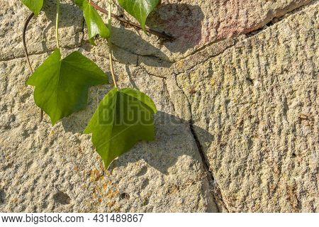 Close-up Of An Ivy Plant, Hedera Helix, On A Rustic Stone Facade At Dawn. Mallorca Island, Spain