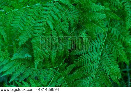 The Dense Dark Green Leaves Of The Fern Are An Exotic Plant. Beautiful Dark Green Abstract Texture O