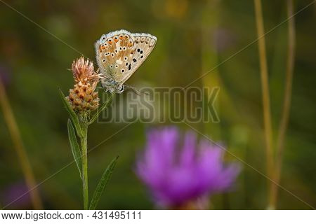 A Female Chalk Hill Blue Butterfly Sitting Upside Down On A Plant Growing In A Meadow On A Summer Da