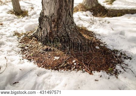 Pine Trunk With Melted Snow Around, On A Warm Spring Day, In The Forest.