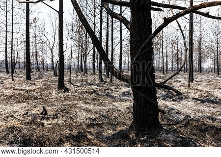 Silhouetted Died Black Trees Burned By Wildfire Inside Tropical Rainforest, Floor Covering By Ash.
