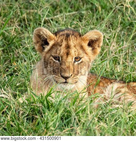 Cute lion cub, panthera leo,  resting in the cool grass of the Masai Mara, Kenya.