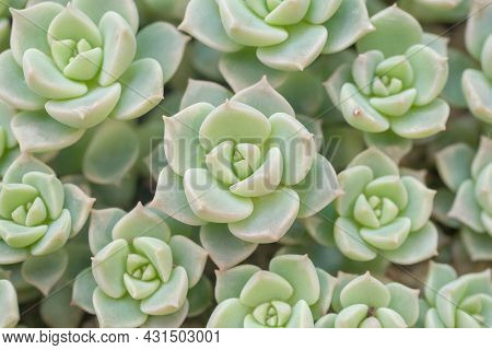 Top view  flowers small Succulent echeveria cactus flowers stone roses moss plan group blooming in garden , Texture ornamental plants nature patterns for background