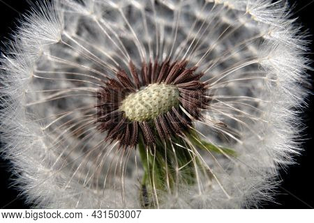Dandelion for design. The wind blew the seeds of a dandelion. Template for posters, wallpapers, posters.
