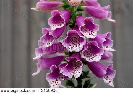 Close Up Of Digitalis Purpurea, The Foxglove Or Common Foxglove In Garden In Sunny Summer Day
