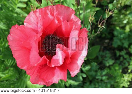 Red Oriental Poppy, Papaver Orientale, Flower In Close Up With Blurred Leaves In The Background.
