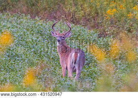 White-tailed Buck (odocoileus Virginianus) In The Process Of Molting Feeding In A Soybean (glycine M