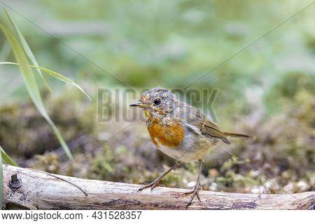 Robin Bird (erithacus Rubecula) Sitting On A Branch.selective Focus
