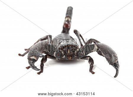 Front View Of Emperor Scorpion