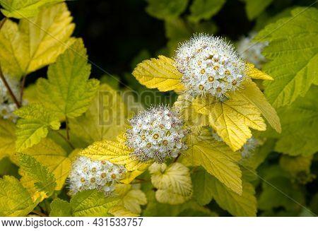 Blossoming Of Viburnum-leaved Bladder In The Summer Garden.