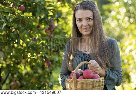 Beautiful Cute Girl Picking Ripe Juicy Red Apple From Tree In Basket In The Garden. Young Woman Coll