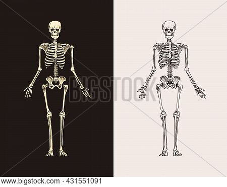 Skeleton Silhouette. Human Biology, Anatomy Illustration. Engraved Hand Drawn In Old Sketch And Vint