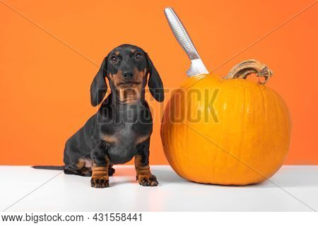 Lovely Dachshund Puppy Is Sitting On The Table Next To A Ripe Pumpkin, Into Which Sharp Knife Is Stu