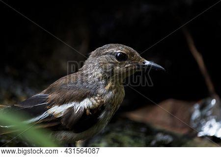Closeup Of A Beautiful Indian Oriental Magpie Robin Male Bird Face