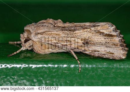 Adult Gray-streaked Armyworm Moth Of The Species Spodoptera Albula