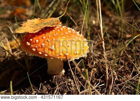 Forest Medicinal Poisonous Mushroom Fly Agaric In A Forest Glade