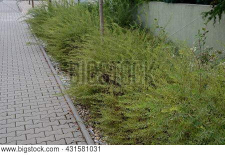 It Is A Shrub This Compact Deciduous Shrub Growing To A Height Of 1.5 M And Wide Bears In The Spring