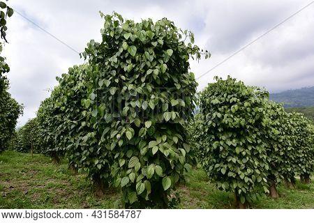 Garden Black Pepper - Plant With Green Berries And Leaves (kumily, Kerala, India) Fresh Peppercorn B
