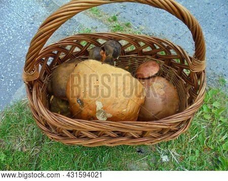 Numerous Mushrooms In A Basket, Dominated By Giant Aspen Mushroom | Big Basket Full Of Scarletina An