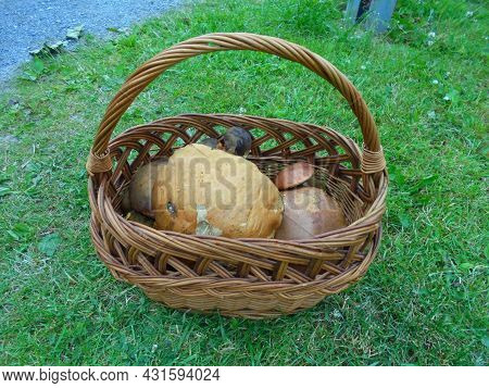 Distant View On A Basket Full Of Giant Leccinum Mushrooms And Small Scarletina Bolete   Edible Fungi