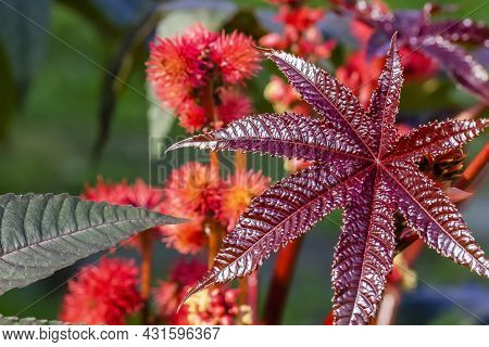 Very Beautiful Leaves Of The Garden Plant Castor .
