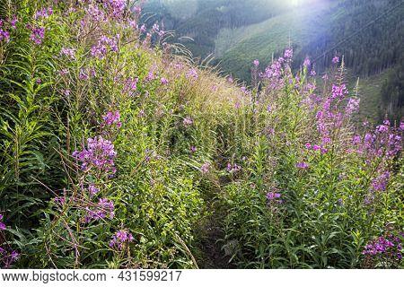 Epilobium Angustifolium Flowers, Otrhance Mountain Ridge, Western Tatras, Slovak Republic. Seasonal