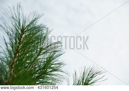 Beautiful Long Green Needles On Branch Of Austrian Pine On Background Of Blue Sky. Selective Focus.