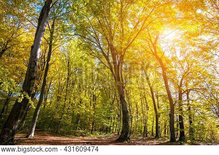 Autumn Forest With Bright Orange And Yellow Leaves. Dense Woods With Thick Canopies  In Sunny Fall W