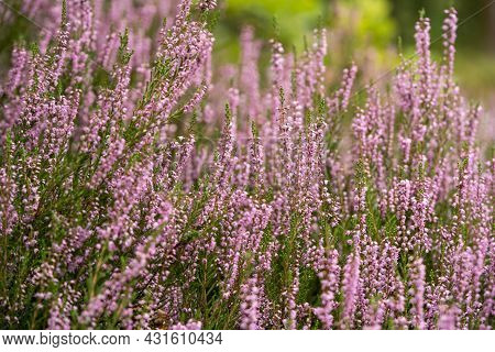 Lush Bright Bunches Of Blooming Heather, Wild Meadow